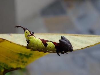 140906ムラサキシャチホコの幼虫.jpg